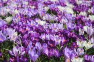 Group of crocuses Stock Photos