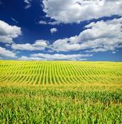 Stock Photo of corn field
