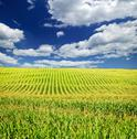 Stock Photo of corn field