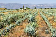 Agave cactus field in mexico Stock Photos