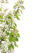 Blooming apple tree branch Stock Photos