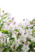 apple blossoms background - stock photo