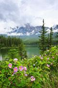 wild roses and mountain lake in jasper national park - stock photo