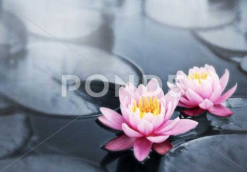 Stock photo of lotus blossoms
