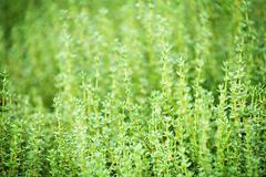Thyme plants Stock Photos