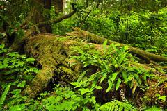 lush temperate rainforest - stock photo