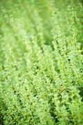 thyme plants - stock photo