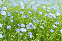 Blooming flax Stock Photos