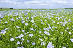 blooming flax field - stock photo