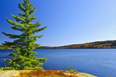 pine tree at lake shore - stock photo
