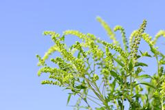 ragweed plant - stock photo