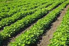 Stock Photo of rows of soy plants in a field