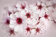 Stock Photo of cherry blossoms