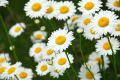 Stock Photo of summer daisies