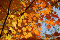 Stock Photo of fall maple