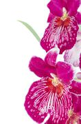 pansy orchid - miltonia lawless falls - stock photo