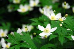 Stock Photo of wood anemones