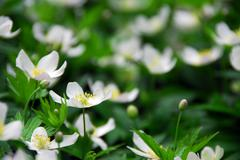 Wood anemones Stock Photos