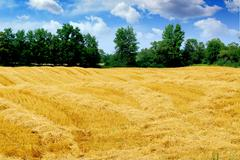 harvested grain field - stock photo