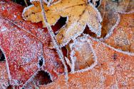 Stock Photo of frosty leaves
