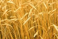 Stock Photo of grain field
