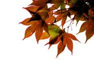 Stock Photo of japanese maple leaves