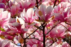 blooming magnolia - stock photo
