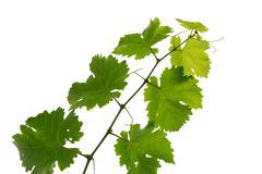 Stock Photo of grape vine