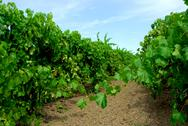 Stock Photo of vineyard