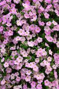 petunia wall - stock photo