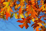 Stock Photo of fall oak leaves