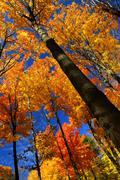 Stock Photo of fall maple trees