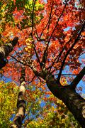 autumn maple trees - stock photo