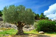 Stock Photo of old olive tree