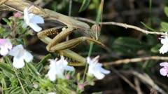 Praying mantis portrait Stock Footage