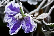 Stock Photo of frosty flower in late fall
