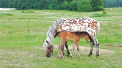 Small brown foal and spotty mare in a shelter Stock Footage