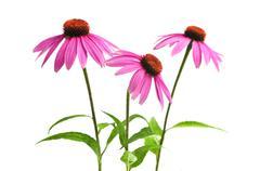Echinacea purpurea plant Stock Photos
