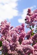 lilac - stock photo