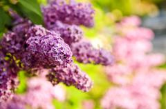 lilac - stock photo