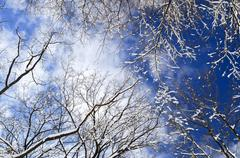 Stock Photo of winter trees and blue sky