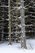 tree trunks in winter - stock photo