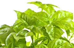 Stock Photo of green basil close up
