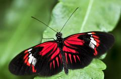 red heliconius dora butterfly - stock photo