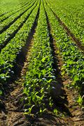 Stock Photo of rows of turnip plants in a field