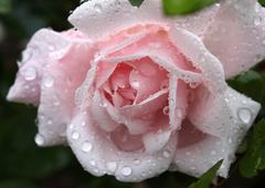 gentle pink rose with water drops - stock photo