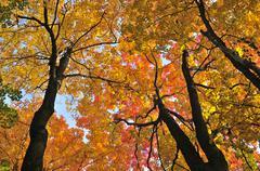 Autumn maple trees Stock Photos