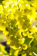 yellow grapes - stock photo