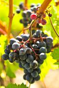 Stock Photo of red grapes