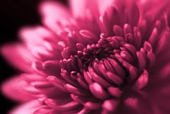 closeup of chrysanthemum - stock photo